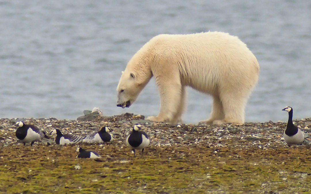 Polar bears shift from seals to bird eggs as Arctic ice melts