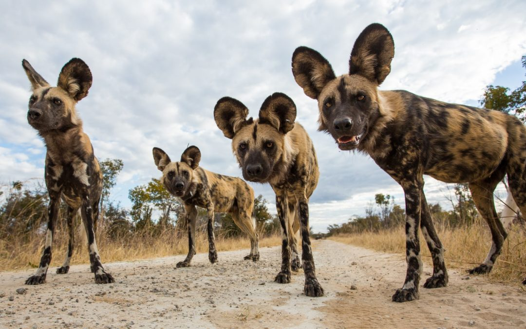 Hot dogs: rising heat makes it too hot for Africa's wild dogs to hunt