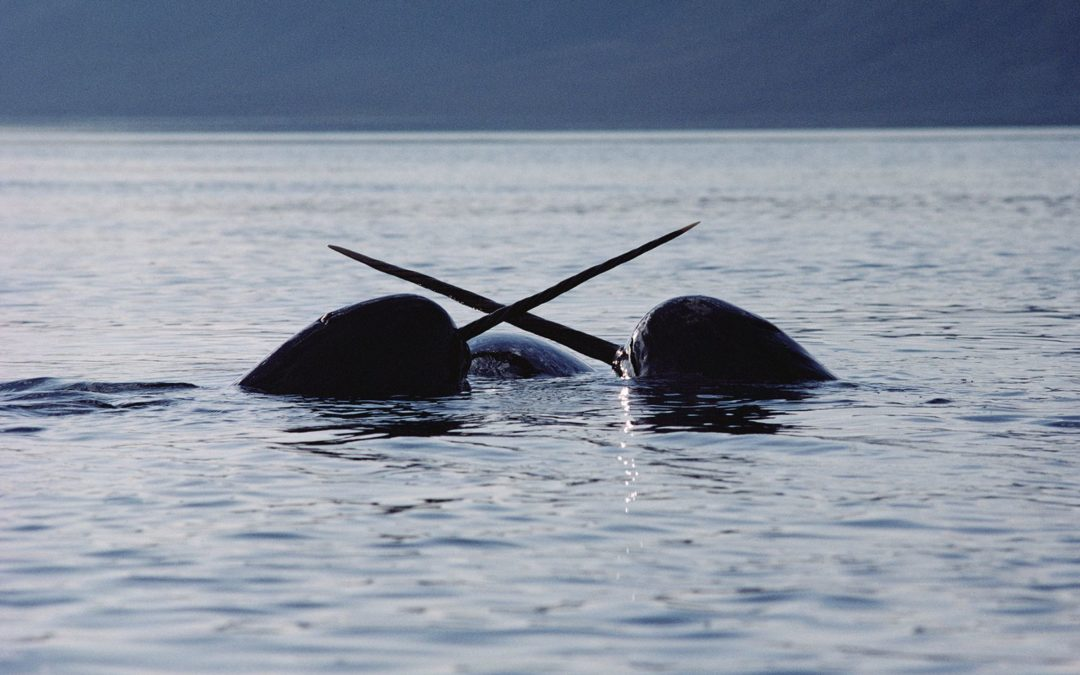 Narwhals Are Helping NASA Understand Melting Ice and Rising Seas