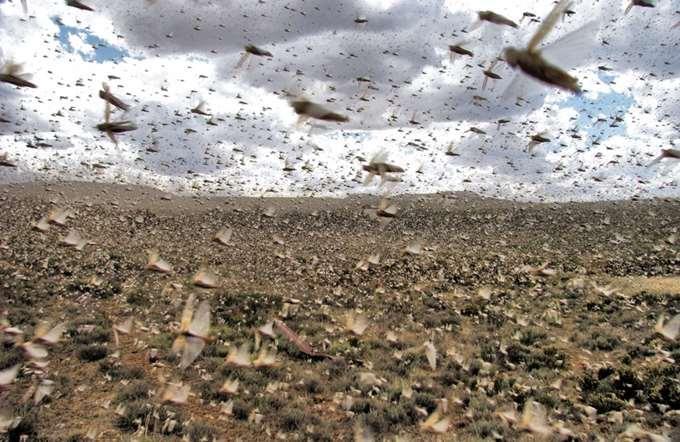 Desert locusts: new risks in the light of climate change