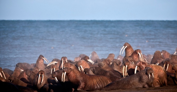 Walruses on packed Alaska beach may have died in a stampede