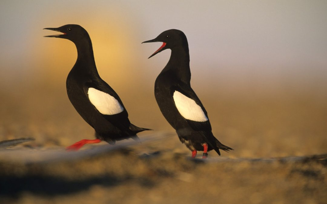 Canary in the Climate Mine: Arctic Seabird's Future Is on Thin Ice