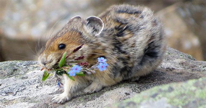 North of Lake Tahoe, the pika has gone locally extinct