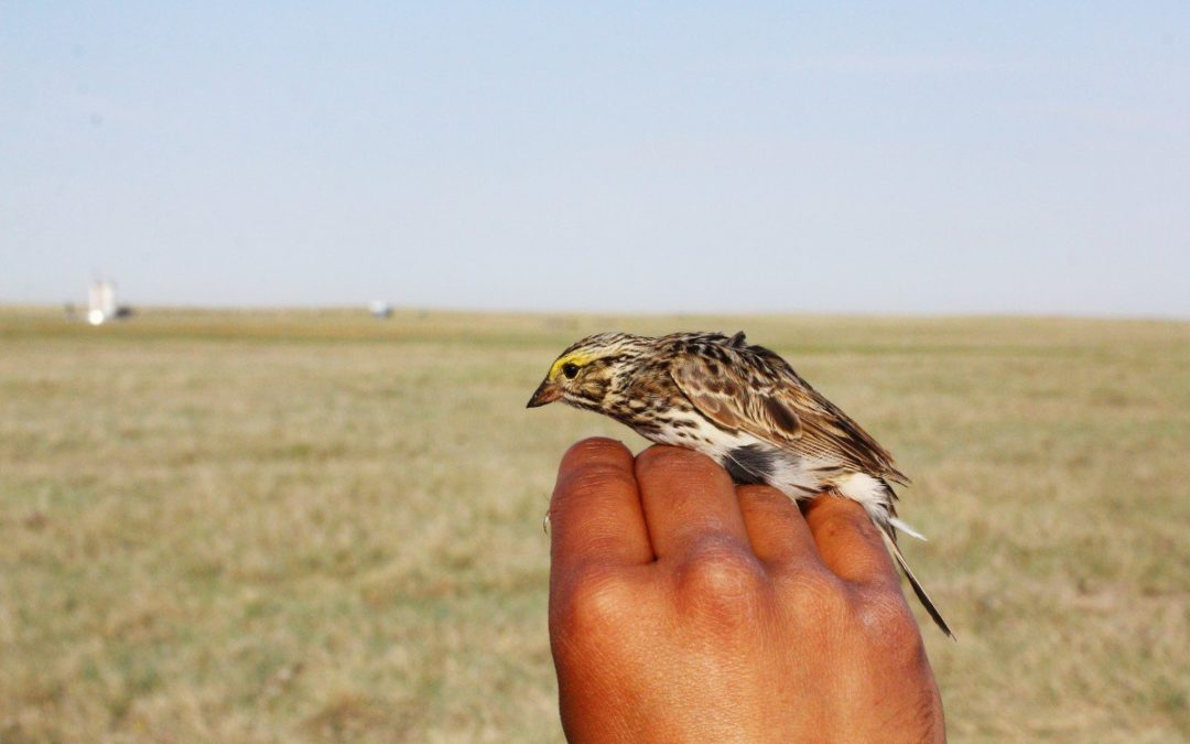 Sparrows in the oilpatch are changing their love songs