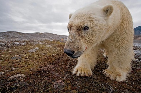Polar Bears Really Are Starving Because of Global Warming, Study Shows