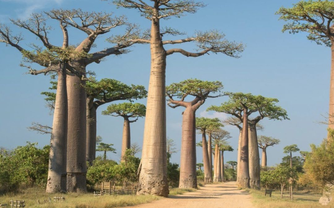 Africa's most famous trees are dying, and scientists suspect a changing climate