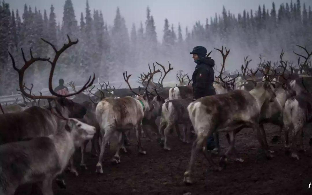 Sweden's reindeer at risk of starvation after summer drought