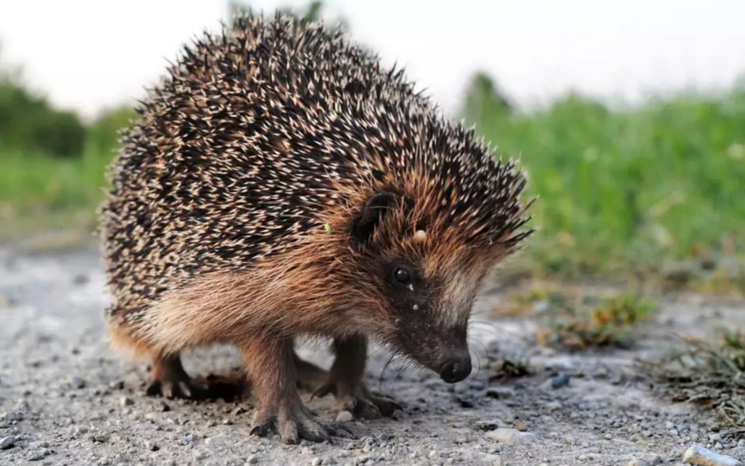Hedgehogs now found in just one fifth of rural areas as numbers plummet, study reveals