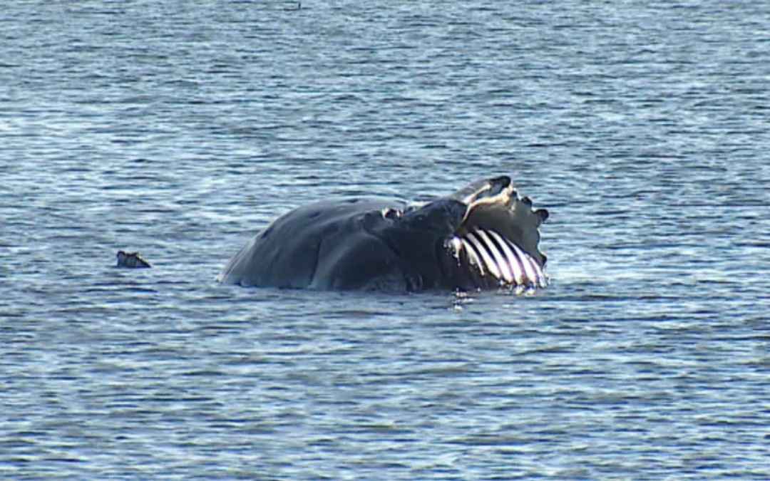 Tsawwassen humpback died from ship strike