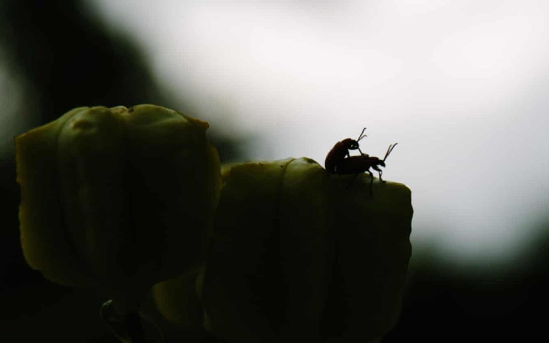 Heatwaves can 'wipe out' male insect fertility