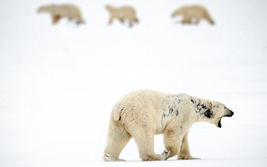 Is Warming Bringing a Wave of New Diseases to Arctic Wildlife?