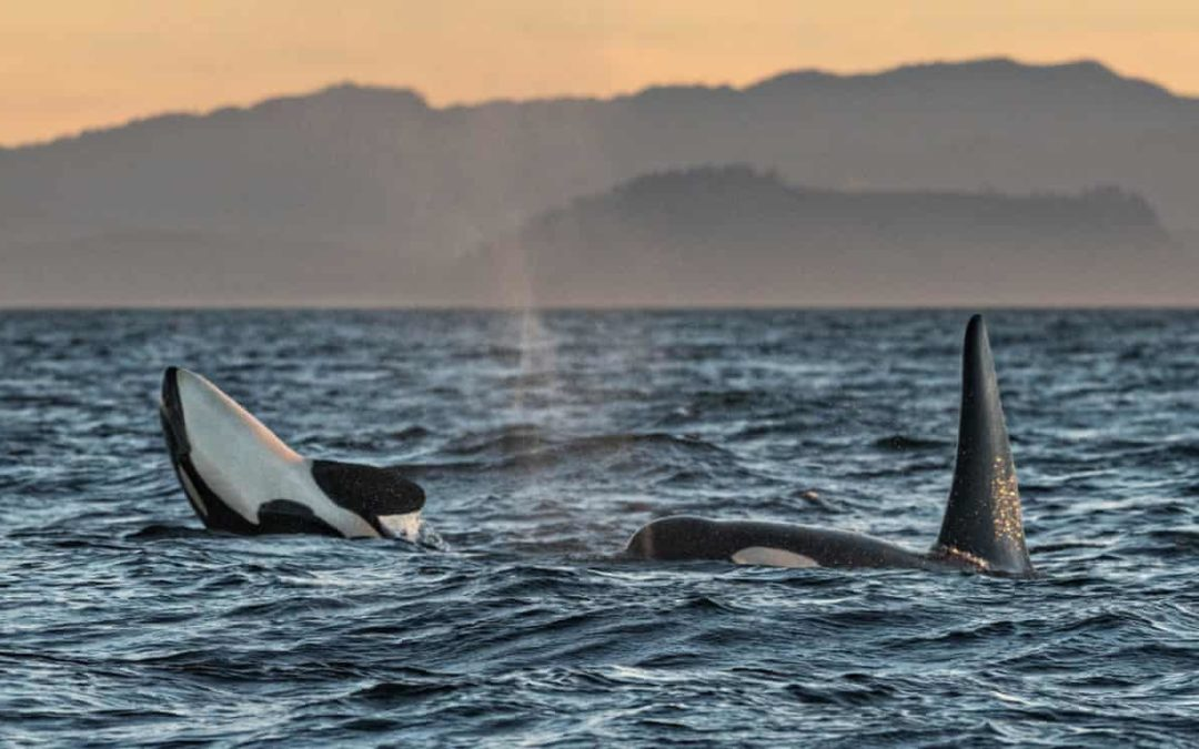 Canada: locals angry after navy holds live fire exercises in orca habitat