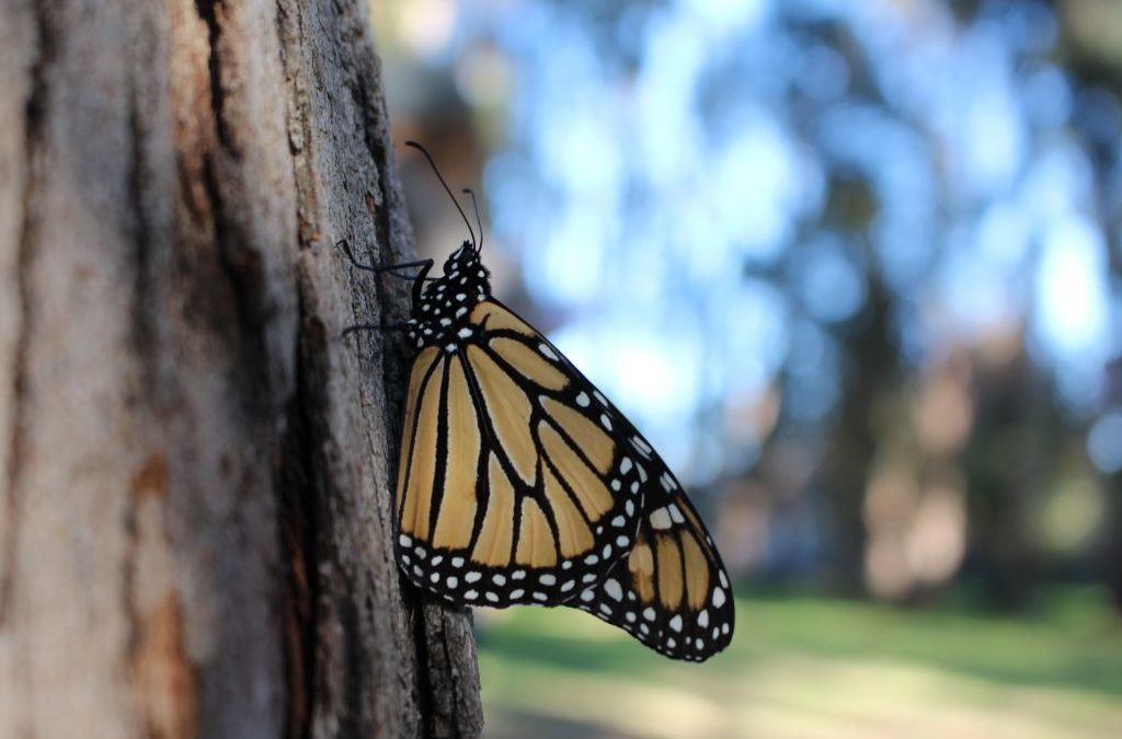 Early Thanksgiving Counts Show a Critically Low Monarch Population in California