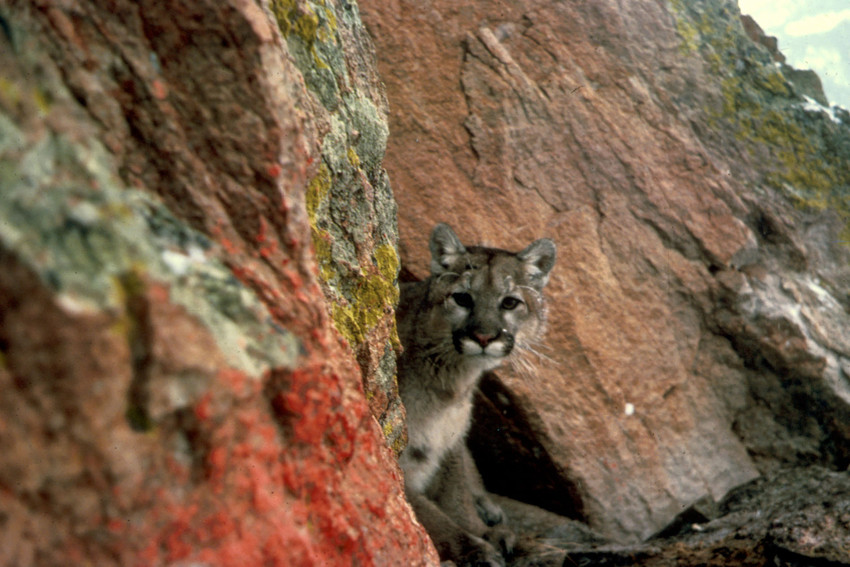 Rat Poison Found in 85 Percent of Tested Mountain Lions, Bobcats, Fishers