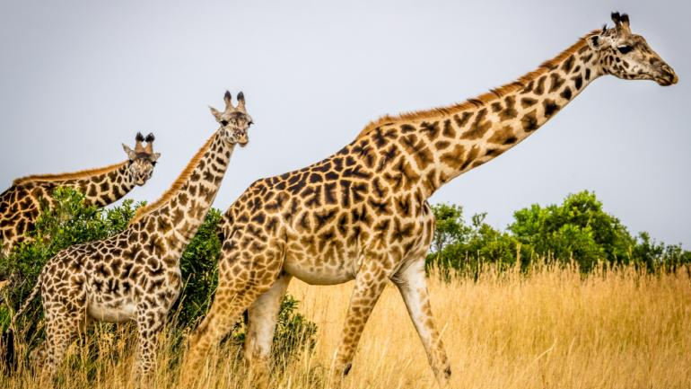 Giraffes just silently went to the list of endangered animals facing extinction