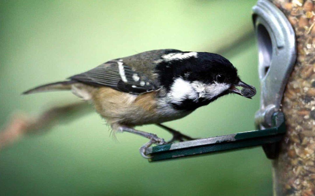 Bye bye blackbird?: RSPB's Big Garden Birdwatch marks 40 years