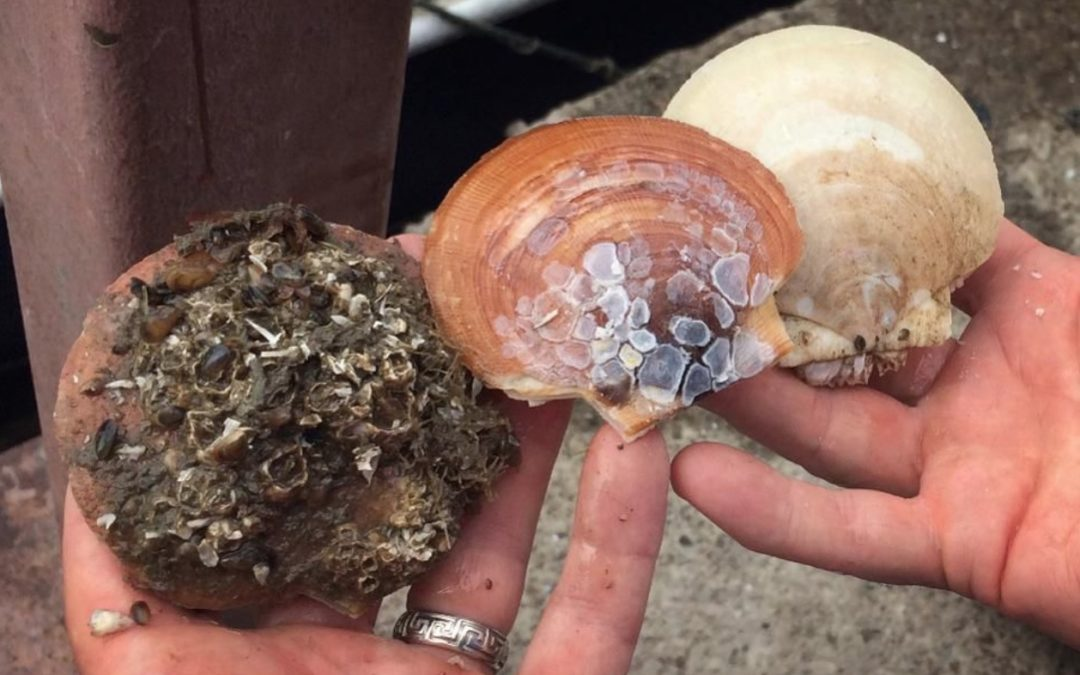 This Shellfish Consumes Billions Of Tiny Plastic Pieces In A Matter Of Hours
