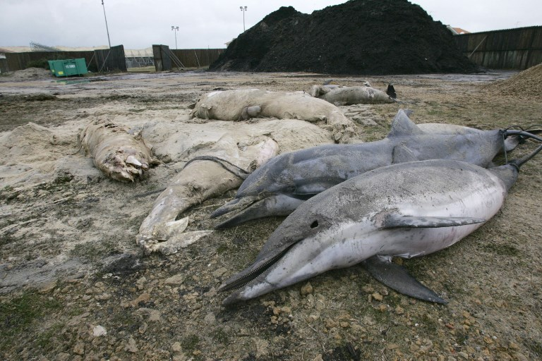 Why are hundreds of dead dolphins washing up on French beaches?