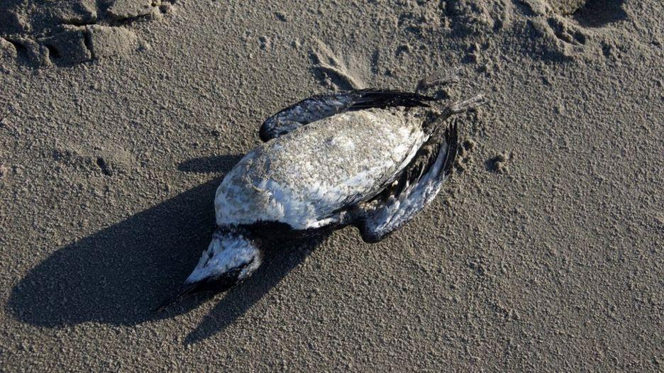 Dutch mystery of '20,000 seabird deaths' on coast