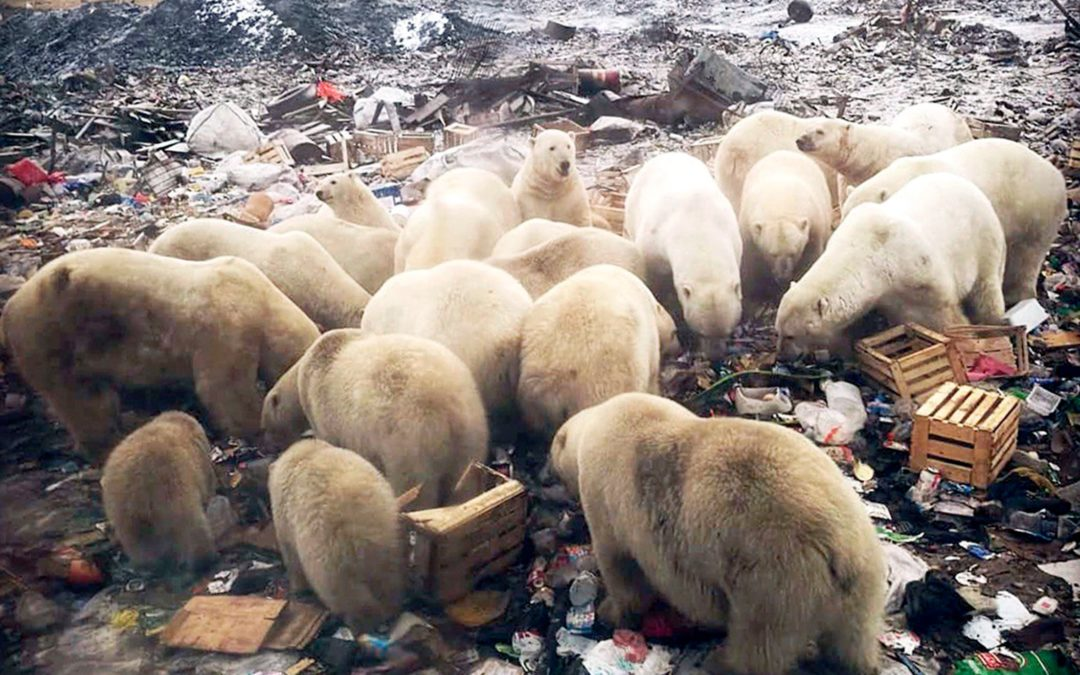 A 'mass invasion' of polar bears is terrorizing an island town. Climate change is to blame.