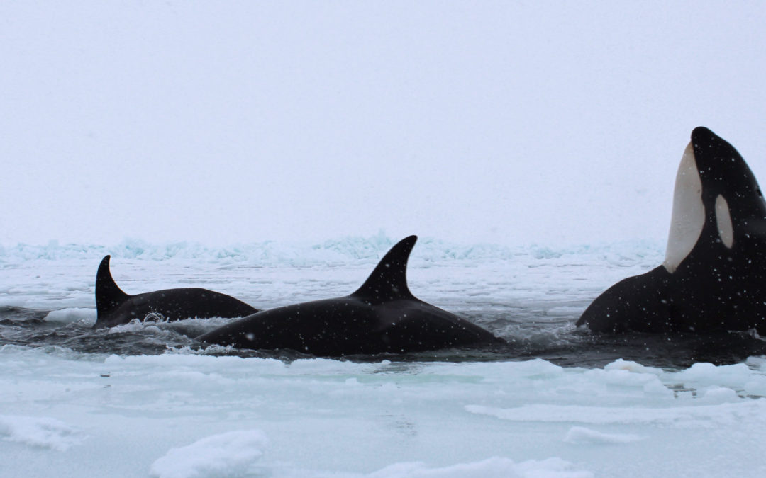 Killer Whales Are Expanding into the Arctic, Then Dying as the Ice Sets In