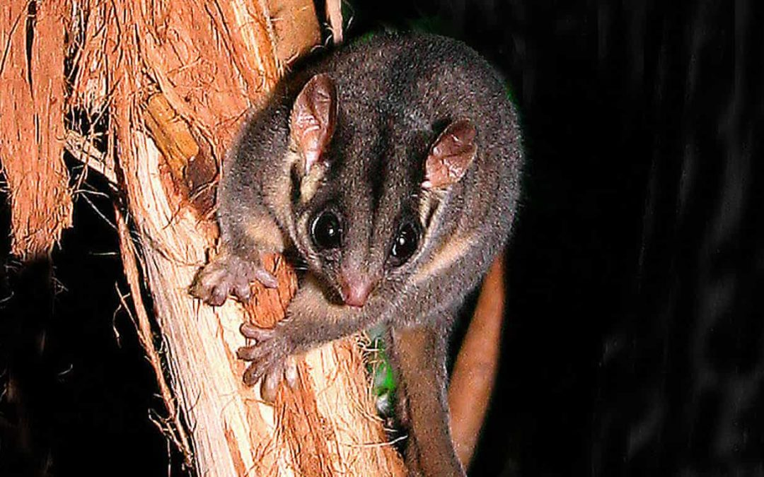 Record numbers of Australia's wildlife species face 'imminent extinction'