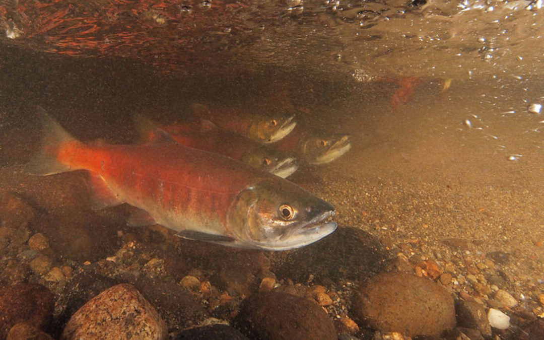 Local Salmon Face Dire Future Amid Effects Of Climate Change