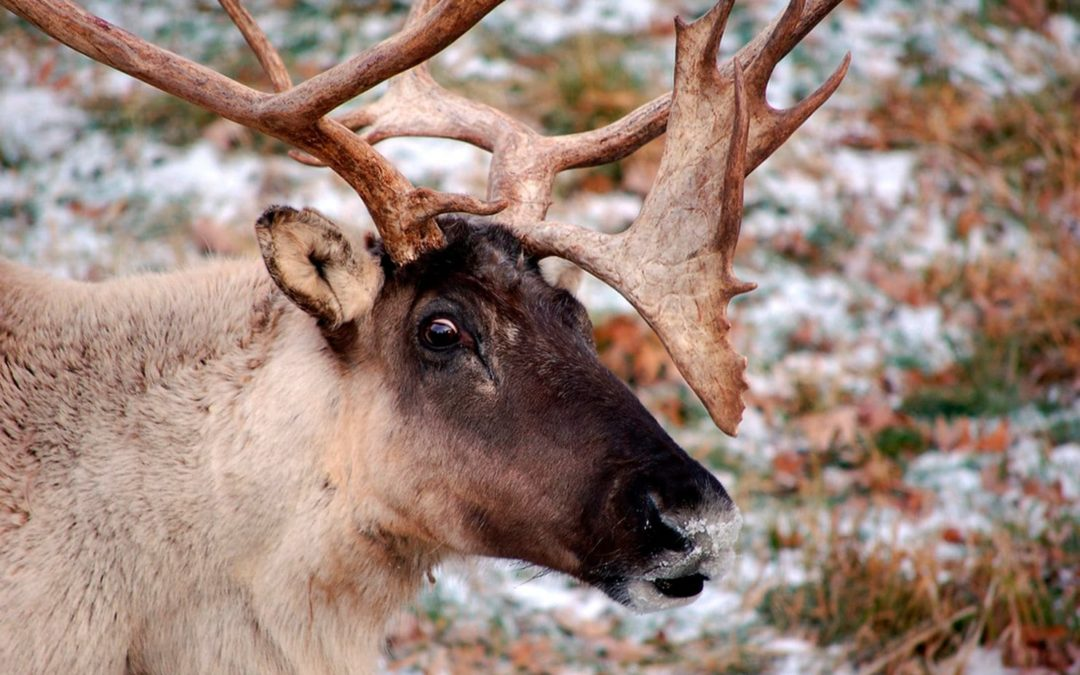 America's reindeer have quietly gone extinct in the Lower 48