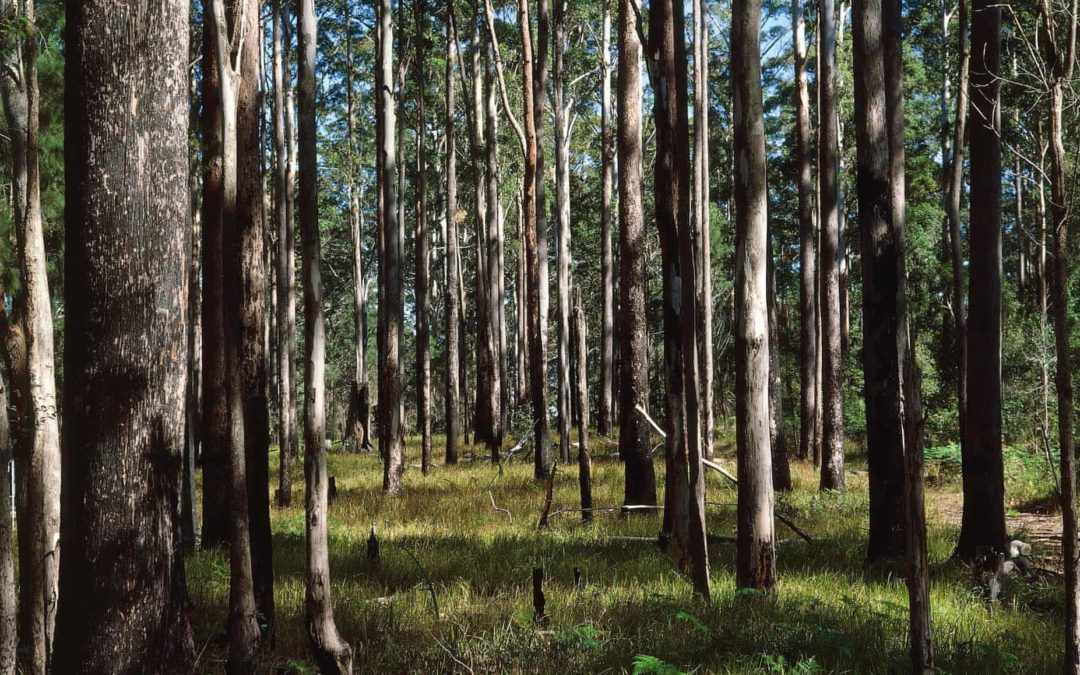 'Whole thing is unravelling': climate change reshaping Australia's forests
