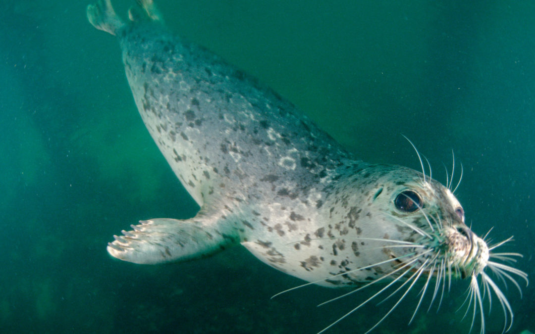 Antibiotic-Resistant Bacteria Are Turning Up in Puget Sound Marine Life