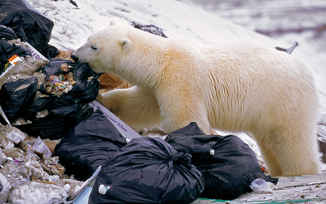 Polar Bears' Plastic Diets Are a Growing Problem