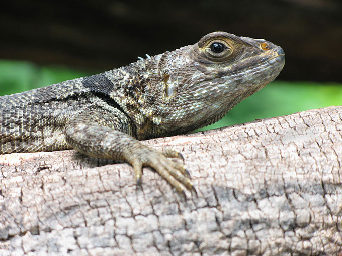 How vanishing lizards in Madagascar led to a troubling discovery about deforestation and climate change