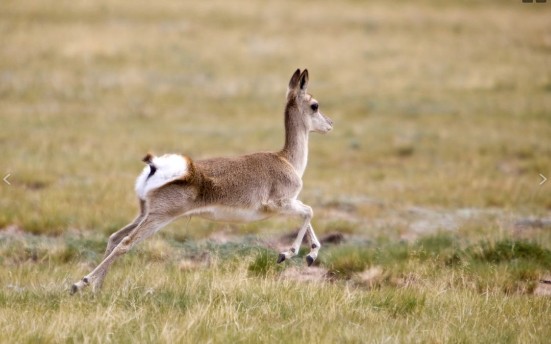 Rare Tibetan Antelopes Are Killed to Make Expensive Luxury Scarves