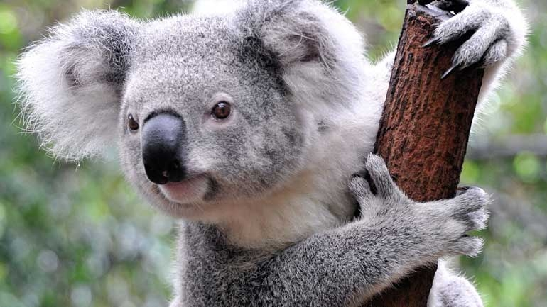 "Koala Bears Are Now ""Functionally Extinct"""
