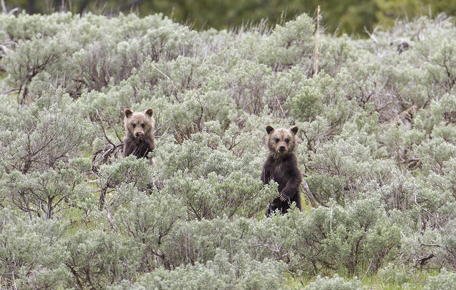 Yellowstone's Grizzlies Wandering Farther from Home and Dying in Higher Numbers