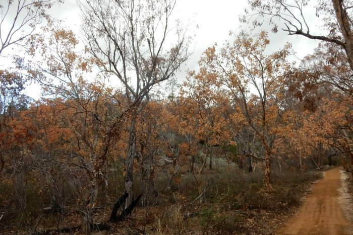 Drought and climate change blamed for the death of centuries-old sandalwood trees