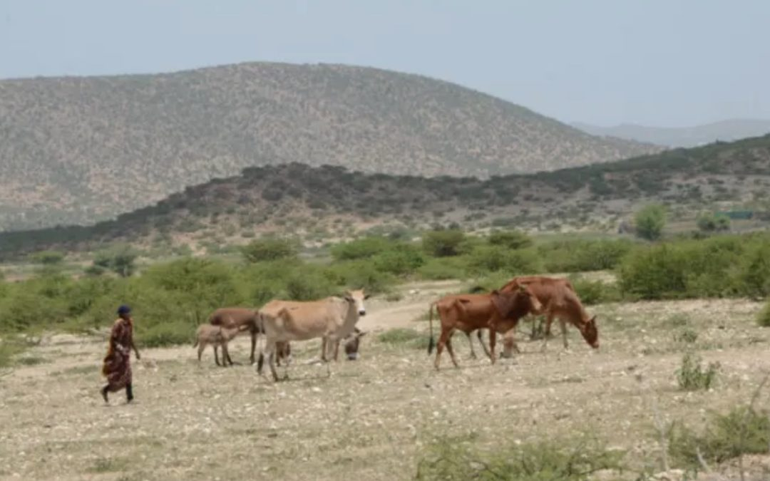 Somali aid community faces up to a new reality of recurring drought