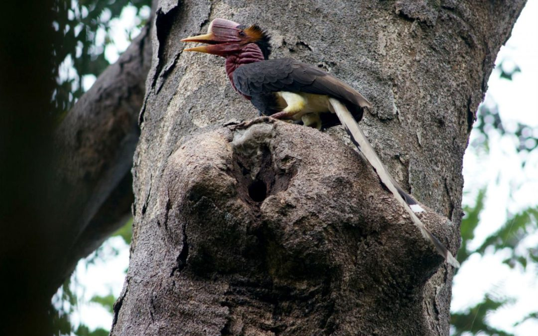 Action urged over hornbill hunting