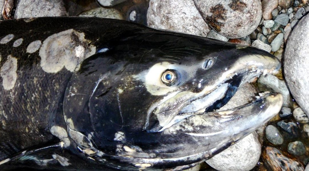 New viruses discovered in endangered wild Pacific salmon populations