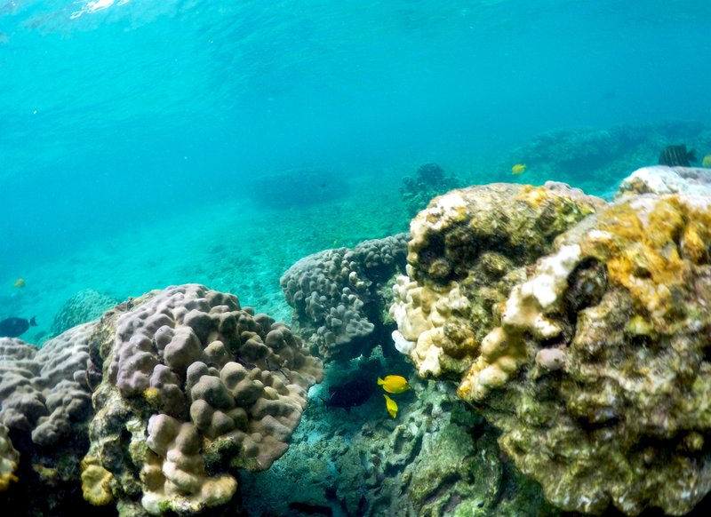 Coral die-off predicted as marine heat wave engulfs Hawaii