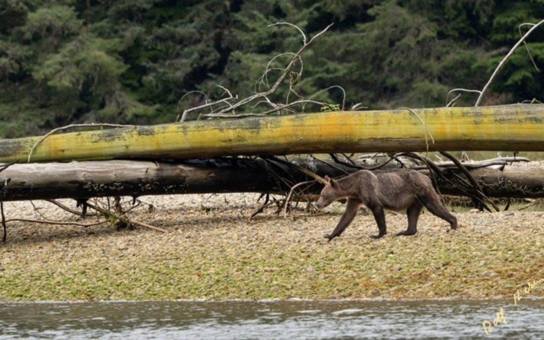 Wildlife photographer raises concern with photos of emaciated grizzlies