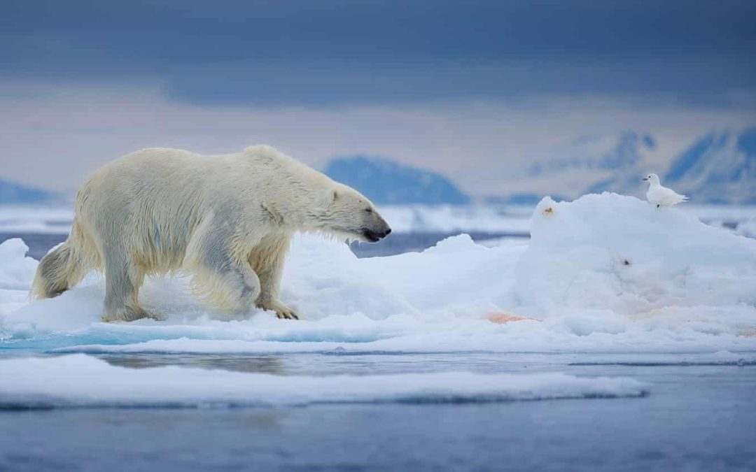 'We know they aren't feeding': fears for polar bears over shrinking Arctic ice