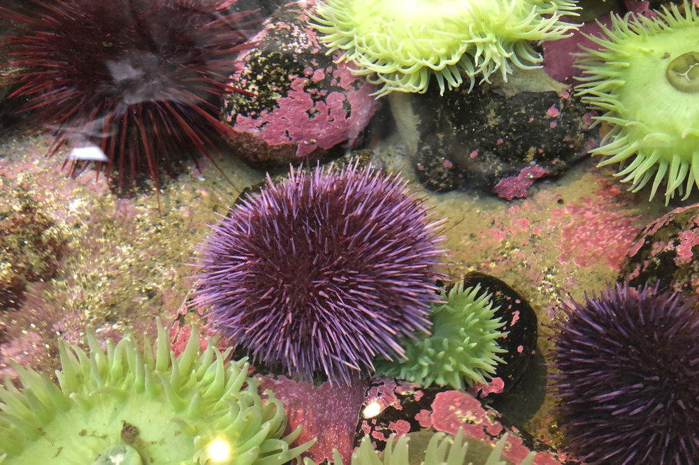 Swarm of sea urchins wreaks destruction on US West Coast