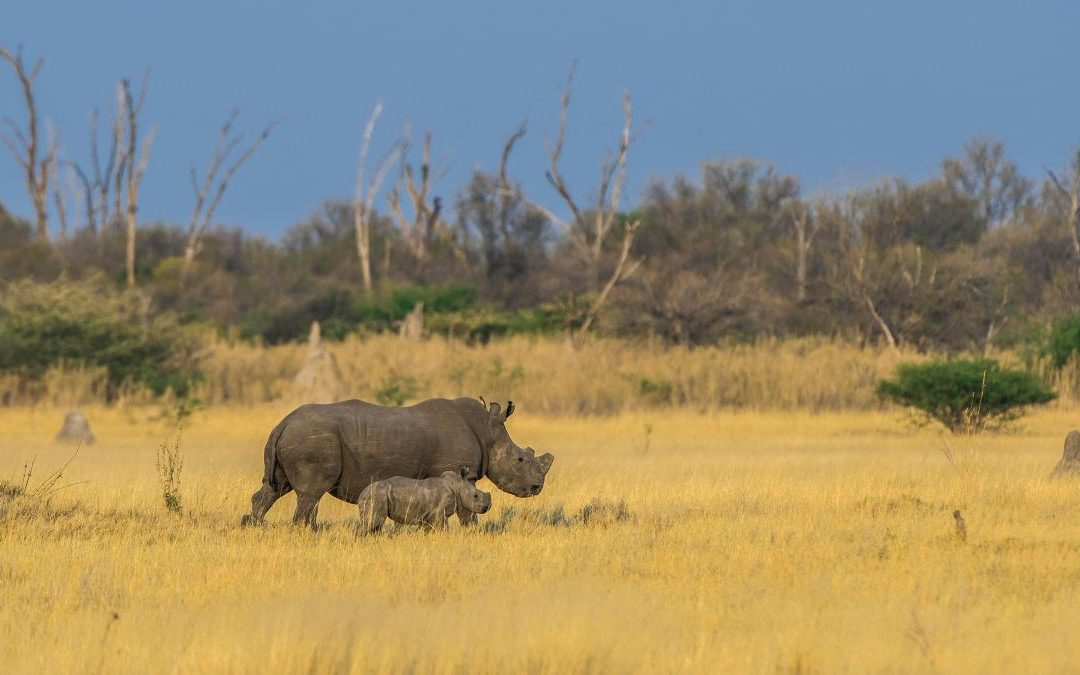Rhinos on the brink as poachers run riot in Botswana