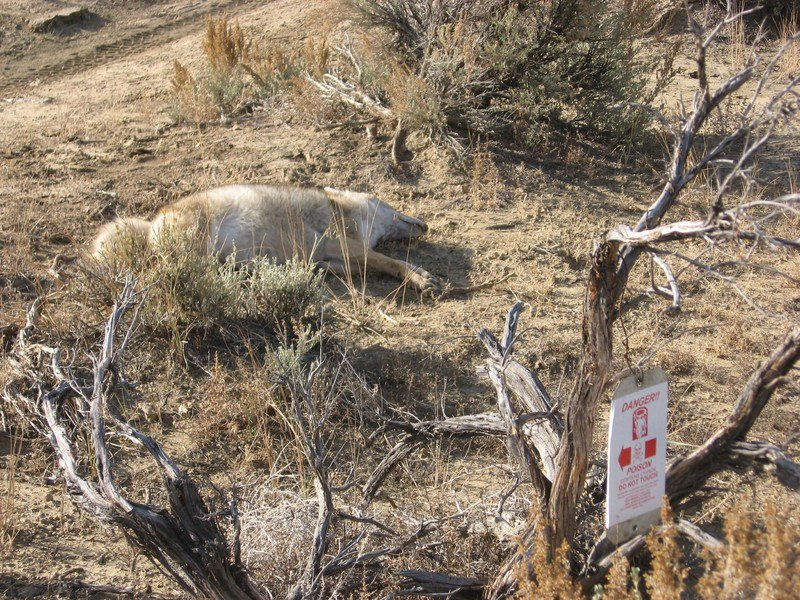 Trump administration again reauthorizes wildlife-killing 'cyanide bombs' despite strong opposition