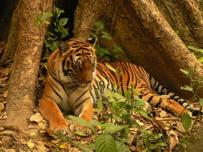 Tigers Extinct in Laos