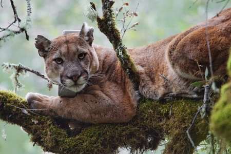 Coastal fog linked to high levels of mercury found in mountain lions