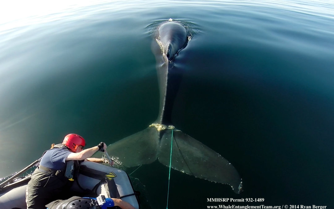 Warm Water 'Blob' Led to Fatal Whale Entanglements. Here's Why
