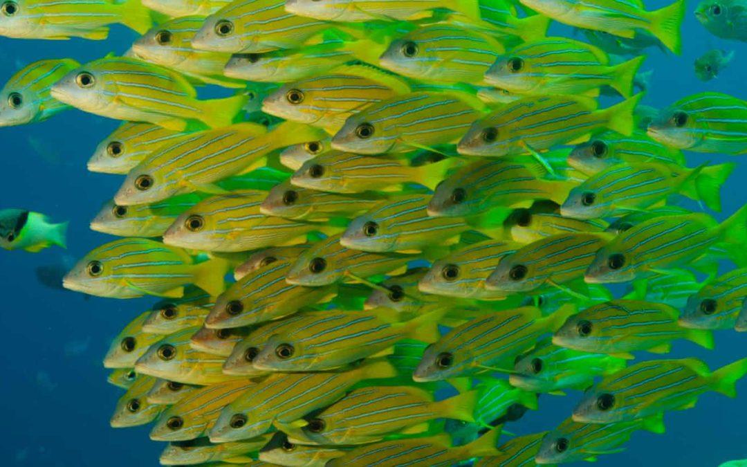 Snapper grunt fish
