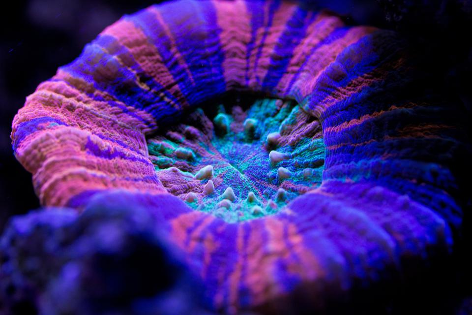 Soft coral Scolymia